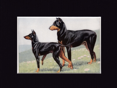 MANCHESTER TERRIER AND DOBERMAN PINSCHER