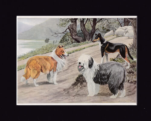 COLLIE ,SMOOTH COLLIE AND OLD ENGLISH SHEEPDOG