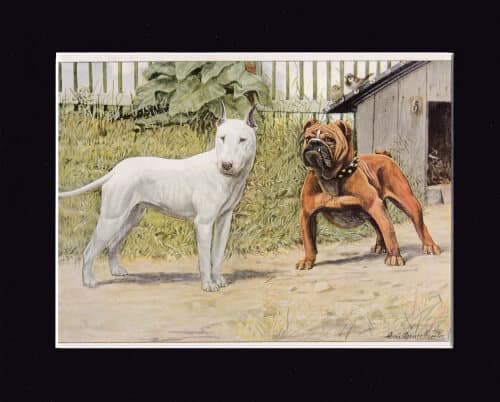 BULL-TERRIER-AND-ENGLISH-BULLDOG
